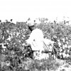 Parchman #3: An inmate picks cotton on Parchman Farm in the 1930s.