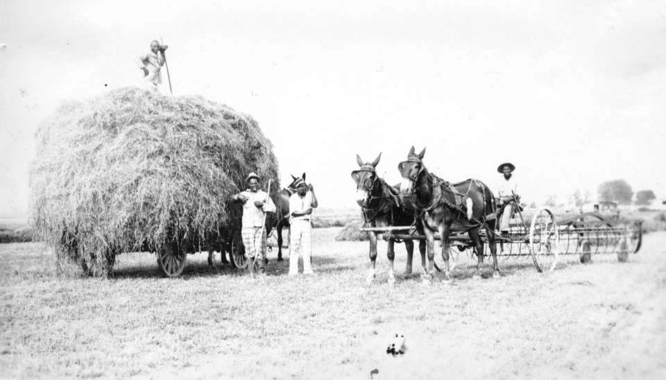 Hay Wagon #2: Inmates pose with gathered hay on horse drawn wagons at Parchman Farm in the 1930s.